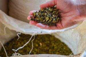 Azorean tea