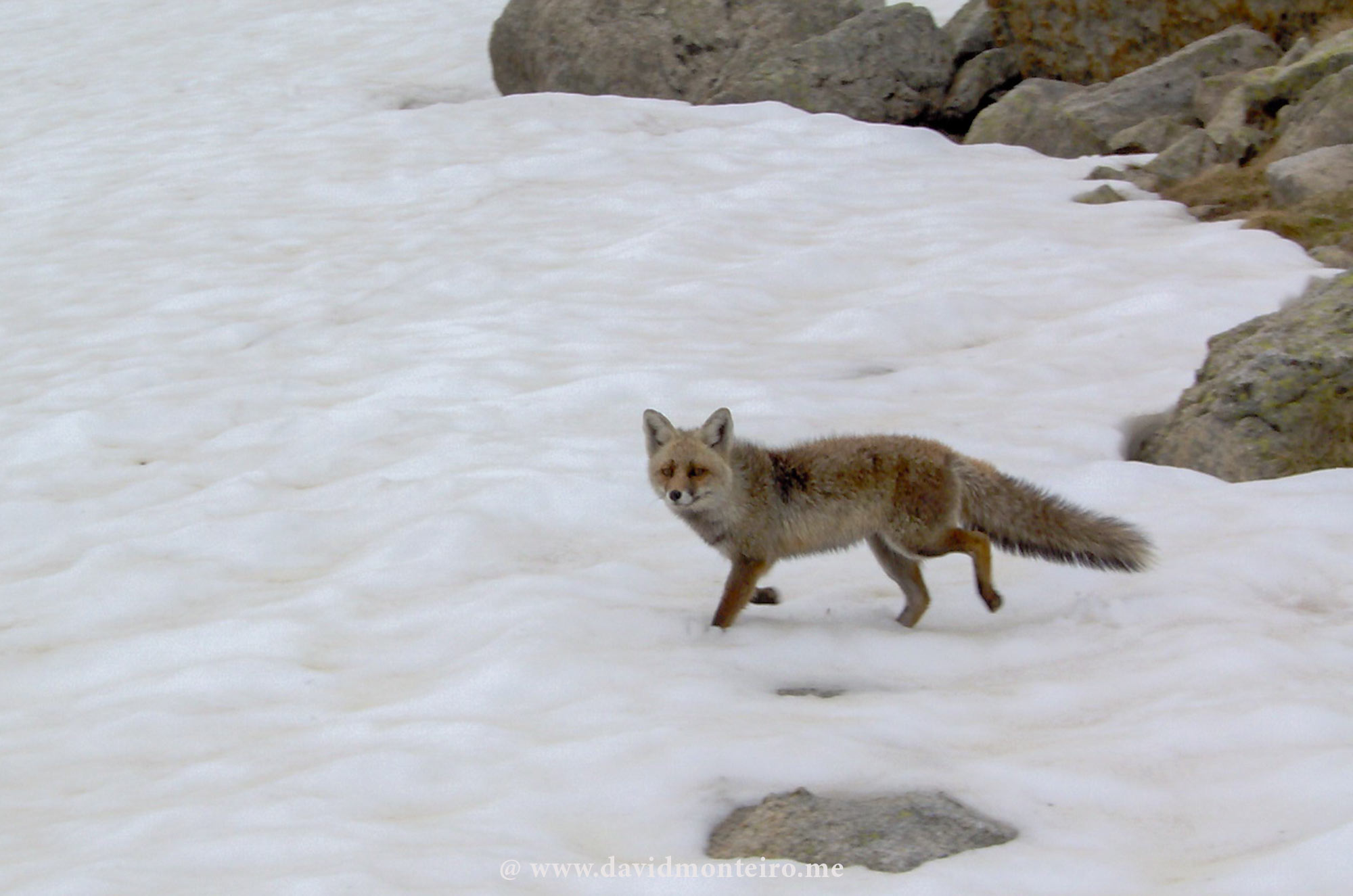 Fox at Aigüestortes National Park